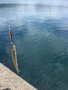 ウルトラライトジギングでカマス釣り