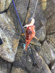 熊野沖磯で釣れたアカハタ